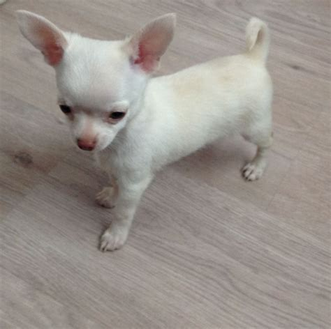 white chihuahua puppies kc reg white chihuahua puppy dumfries dumfriesshire pets4homes