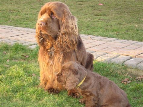 sussex spaniel puppies saved by dogs low lovely and uncommon clumber and sussex spaniels
