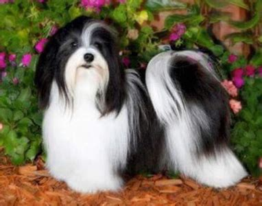 havanese show dogs havanese grooming bathing and care espree animal products