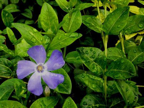 Pflanzen Immergrün Winterhart by Bodendecker Winterhart Hirobeauty Info