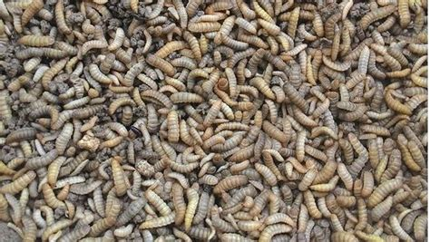 keuntungan maggot bsf  pakan ternak