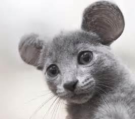 chats petites oreilles