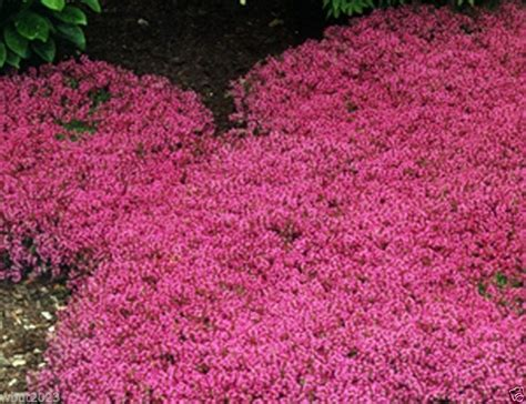 Bibit Benih Seeds Creeping Thyme For Ground Cover Creeping Thyme Seeds Magic Carpet Thymus Serpyllum Perennial Ground Cover Other Seeds