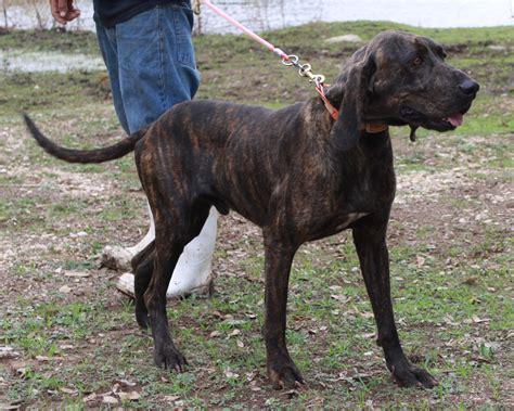 plott puppies plott hound puppies rescue pictures information temperament characteristics