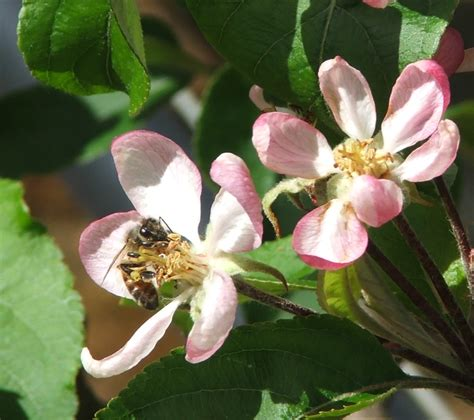 apple bee recommendations for successful apple pollination