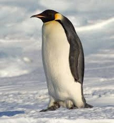 penguin facts for exciting facts about penguins facts about animals volume 18 books 10 interesting emperor penguin facts my interesting facts
