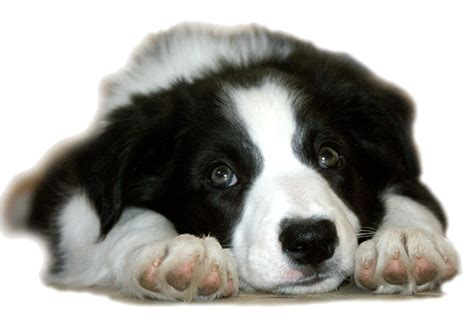 border collie puppies iowa smooth coat border collie puppies for sale in iowa breeds picture