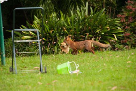 fox in backyard fox in suburban backyard abc news australian broadcasting