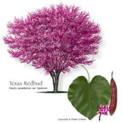 american redbud growth rate myideasbedroom com