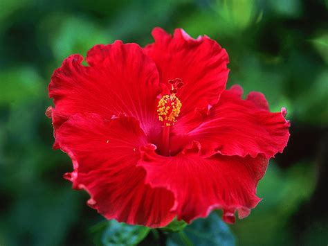 cole s florist inc tropical hibiscus care facts cole s florist inc