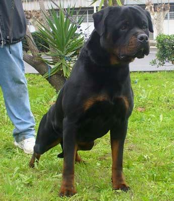 are rottweilers born without tails tale of tails