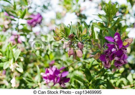 cespuglio con fiori viola archivi fotografici di bello cespuglio bougainvillea