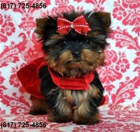 free puppies louisville ky yorkie puppies for free adoption in ky breeds picture