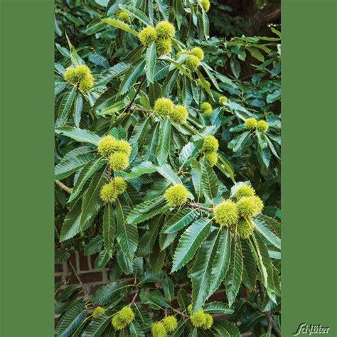 Pflanze Kaufen 216 by Nussb 228 Ume Baumschule Pflanzen Gro 223 E Pflanzen Und B 228 Ume