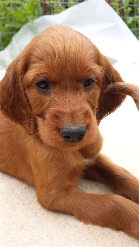 red setter dog for sale uk last superb irish red setter dog pup available wymondham