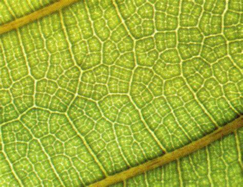 pattern leaf veins leaf vein pattern the vein patterns on a leaf have a
