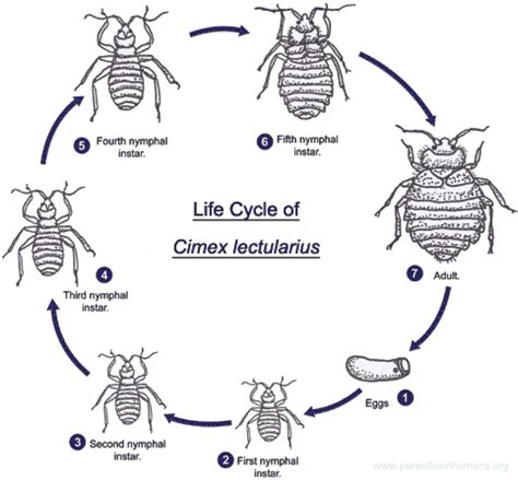 how long can bed bugs go without eating how long can bed bugs go without eating 28 images