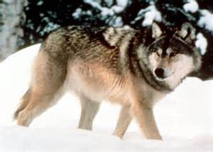 wolf fur colors black vs gray what does wolf fur color to do with
