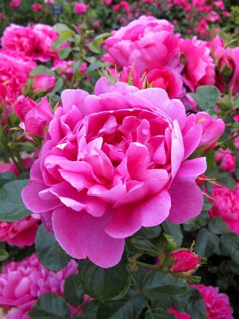 rose royal royal jubilee david austin english rose flickr