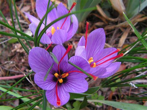 crocus sativus 171 herbology manchester