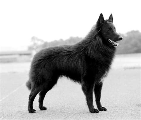 belgian sheepdog puppies belgian sheepdog
