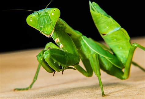 praying mantis garden pest beneficial insects for your organic garden my self