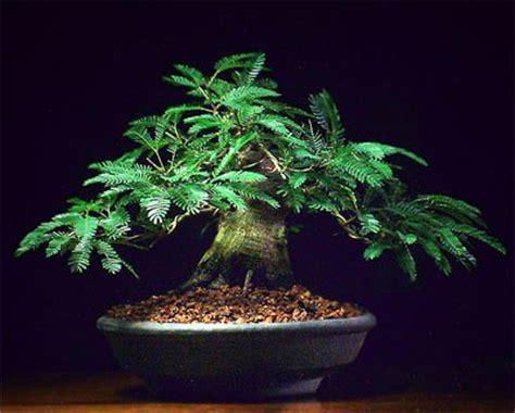 Sho Frutasse home atelier do bonsai