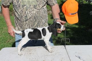 puppies for sale in college station view ad bluetick coonhound puppy for sale college station