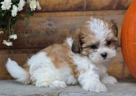 shichon puppies for sale in pa and fluffy shichon puppies craigspets