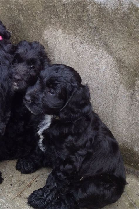 sproodle puppies sproodle puppies only 1 left fully vaccinated abertillery blaenau gwent pets4homes