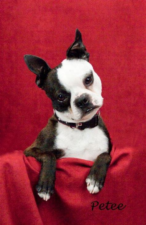 boston shelter wannabe run boston terrier rescue petfinder