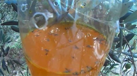 Ver Du Cerisier by Le Pi 233 Geage De Masse Olive Mouche Des Fruits Et La Mouche