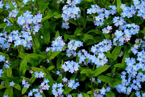 forget me not flowers how to grow forget me nots