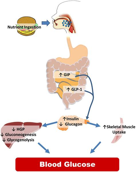 frontiers cns control  glucose metabolism response