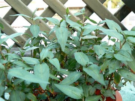 Pohon Mint Daun Mint leisure my daun kesum mint leaves