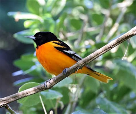 orange breasted bird with black head
