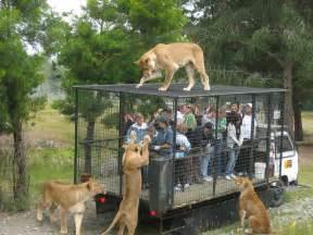 Walmart Shoe Bench File Orana Wildlife Park Feeding Lions Jpg Wikimedia Commons