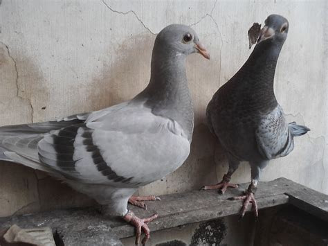 racing homing pigeon