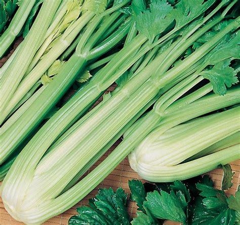 Benih Sayur Seledri bibit benih seledri green sleeves jual tanaman hias
