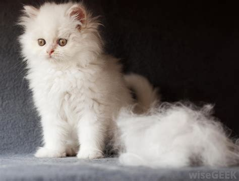 Cat Shedding Much Fur by How Can I Minimize Cat Shedding With Pictures