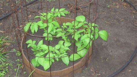 what happens when you plant a potato 28 images planting potatoes the how to guide