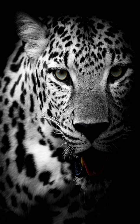 black and white leopard wallpaper leopard black white download free 100 pure hd quality