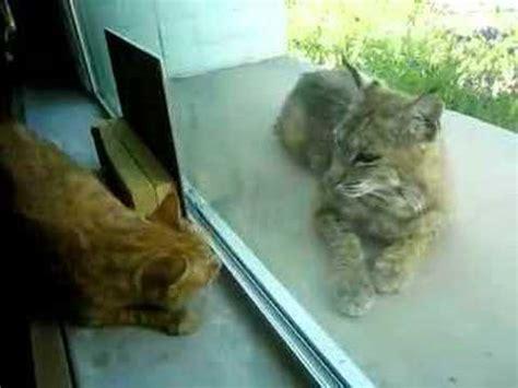 bobcat vs domestic cat images indoor cat and bobcat 4 youtube