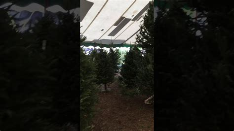 jacks christmas trees formerly eljac miami fl large selection of fraser fir trees at jacks trees miami florida