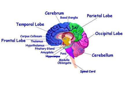 diagram of brain lobes brain parts diagram brain puzzles image