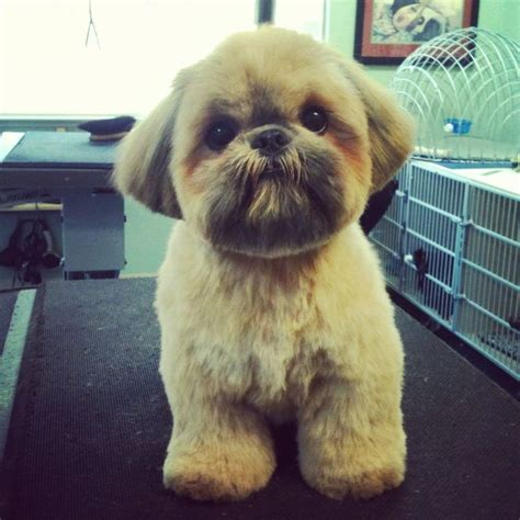 list of shih haircut dougie the shih tzu yelp shih tzu other dogs i love
