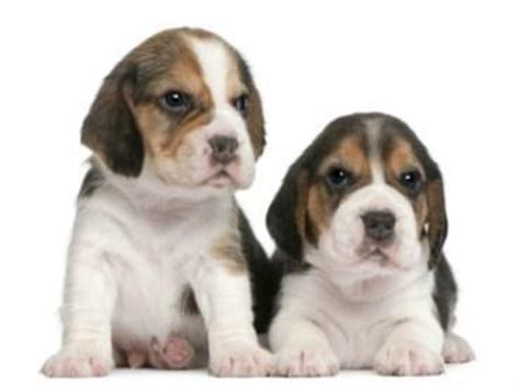 cost of beagle puppies price of a beagle how much a beagle puppy costs