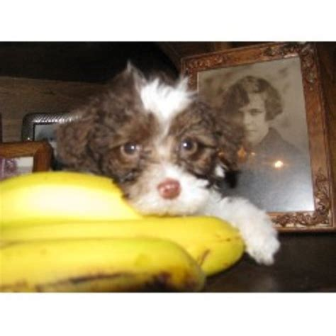 yorkie puppies for sale omaha ne parti poodle central poodle miniature breeder in omaha nebraska
