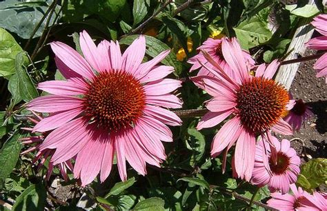 echinacea plant how to grow coneflower