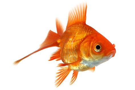 pesciolino rosso testo animali giardineriagiardineria